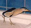 Close up of a Little Bittern, (Ixobrychus minutus L) in bath room sink, rehabilitated by Margaret Clurow, Crete, Greece